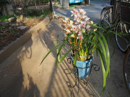 20180311・震災7年目の散歩植物17・シンビジウム