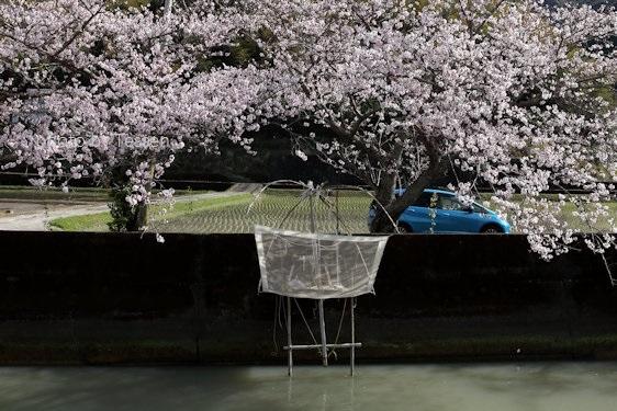 IMG_1618桜