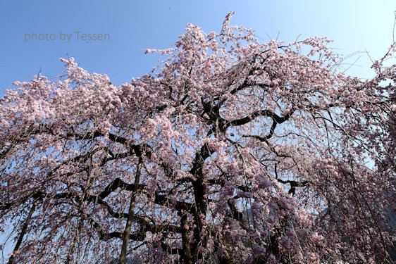 IMG_0679桜