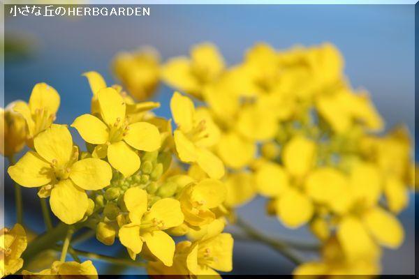 600 白菜のお花