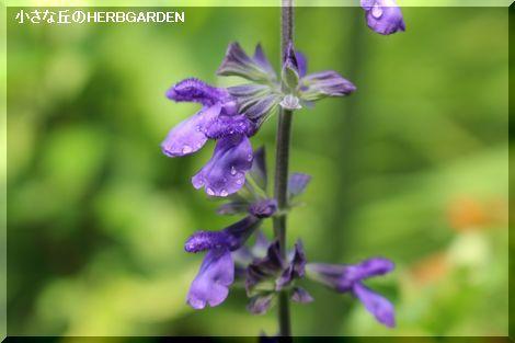 470 ラベンダーセージ 開花