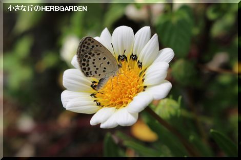 470 ガザニアと蝶