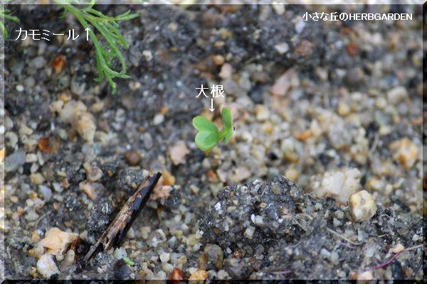 600 大根の発芽