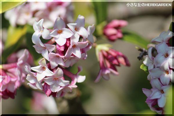 600 沈丁花