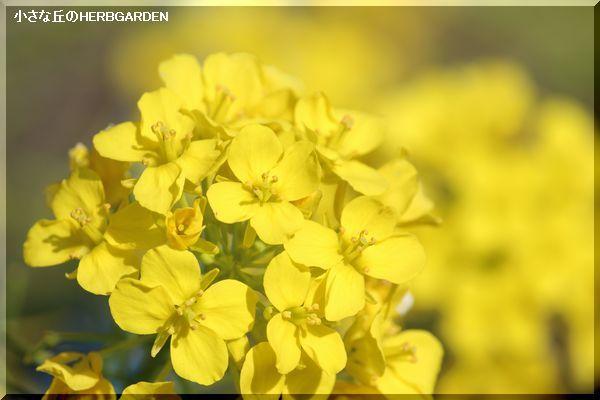 600 白菜の花