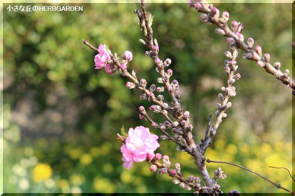 600 花桃 咲きはじめたばかり