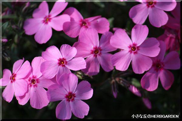 600 芝桜
