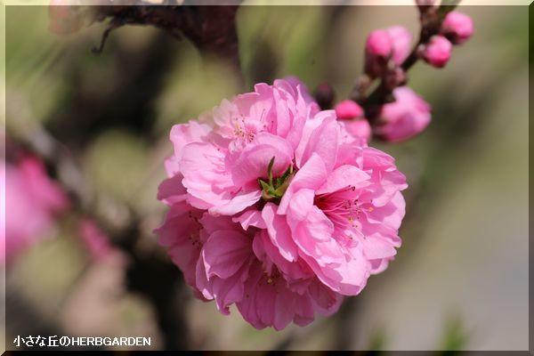 600 花桃
