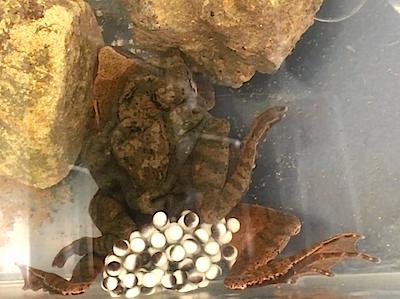 ナガレタゴガエルの産卵