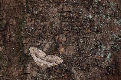 ソメイヨシノの樹に止まるトギレフユエダシャク