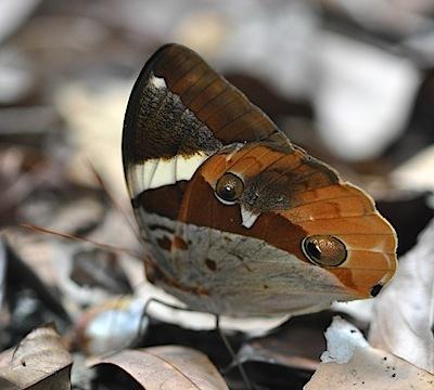 シロオビワモンチョウの1種