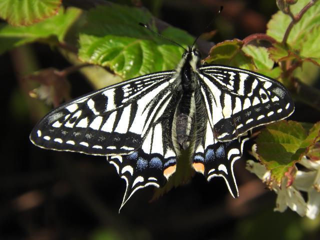 アゲハ蝶DSCN0529