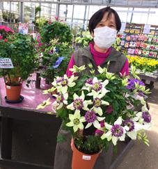 クレマチス花鉢