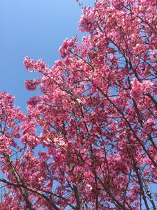 紅吉野桜a