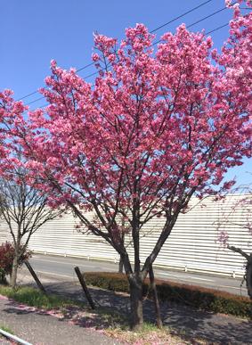 紅吉野桜b