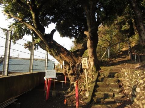 諏訪神社のシイノキ