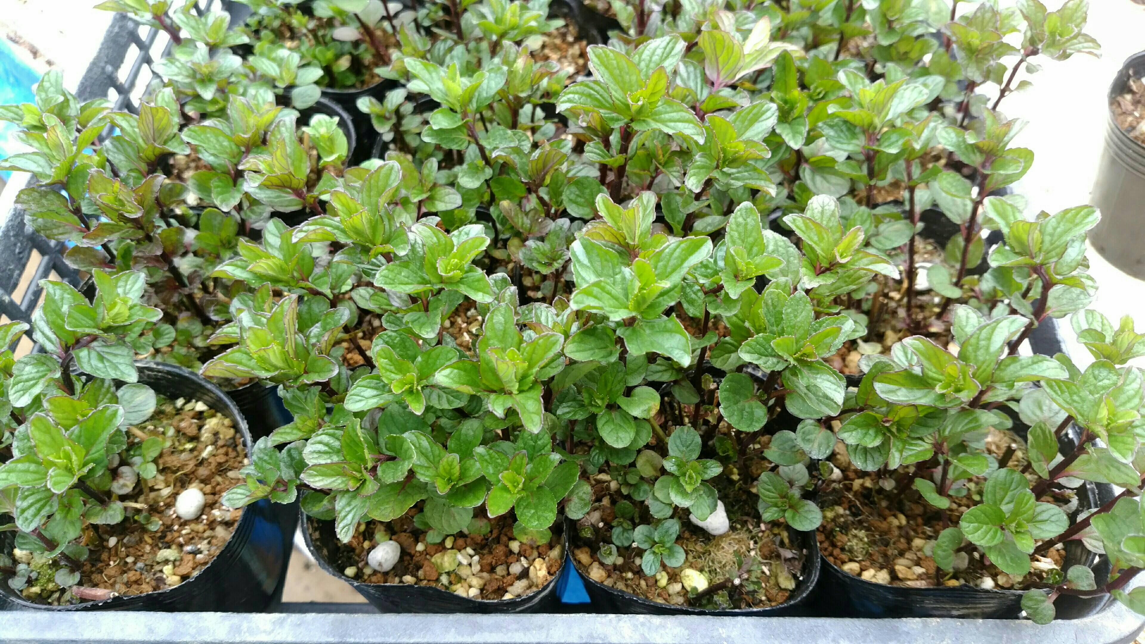 イエルバブエナの苗(モヒート用)と栽培