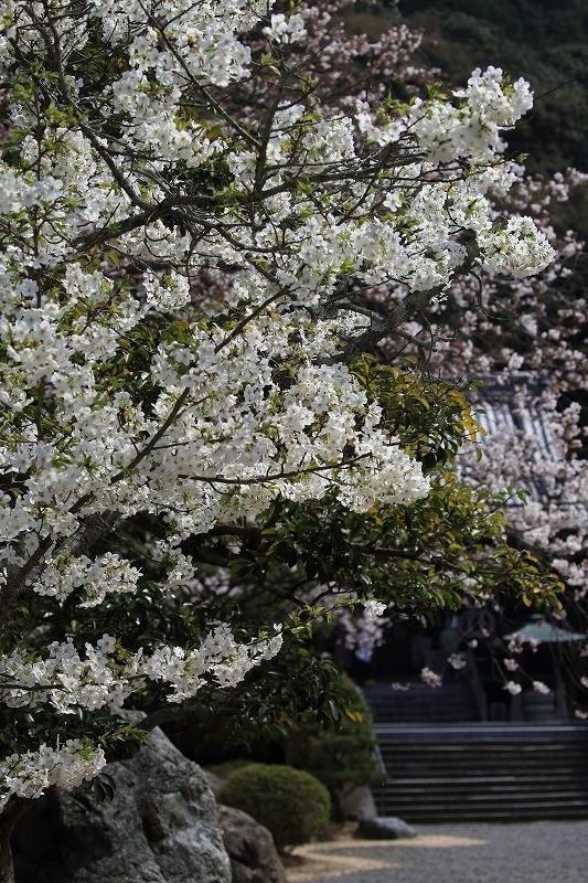 繁多寺桜 180327 06
