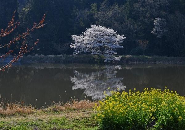 桜 DSC_0325