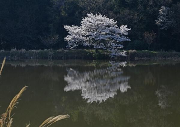 桜 DSC_0331