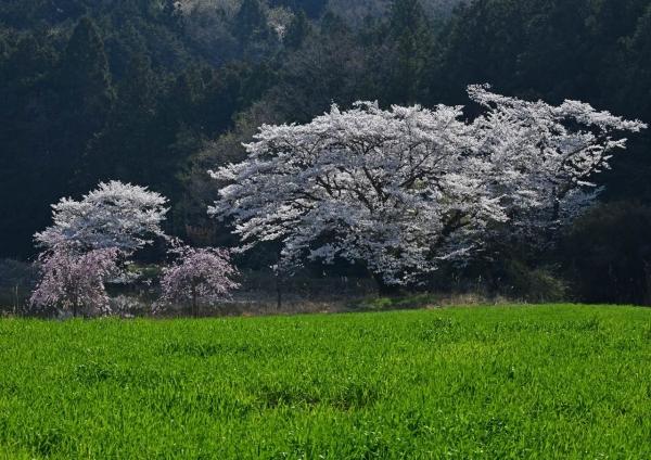 桜 DSC_0355