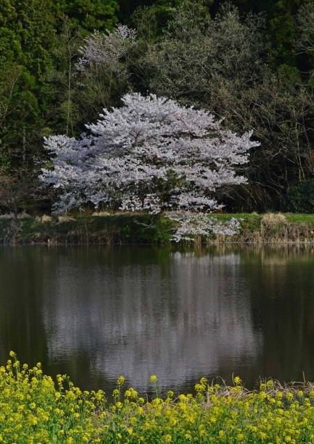 桜 DSC_0010