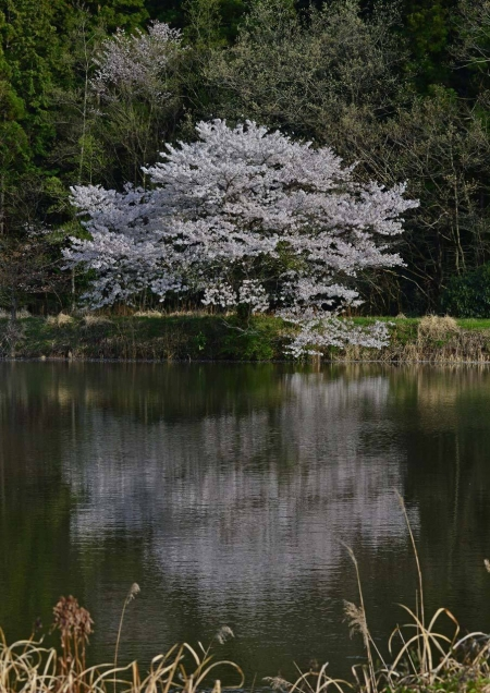 桜 DSC_0017
