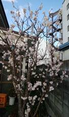 0314 事務所前 桜満開1