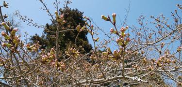0323 桜の蕾b