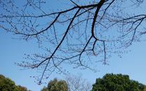 0323 山頂の桜はまだつぼみ
