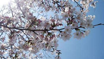 0328 実家前公園の桜2