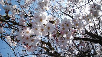 0328 実家前公園の桜1