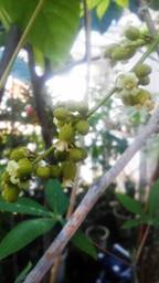 Harpullia ramiflora ②_R