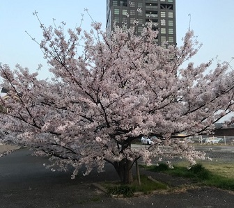 中央広場桜の木小