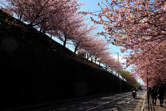 かわず桜-1_R