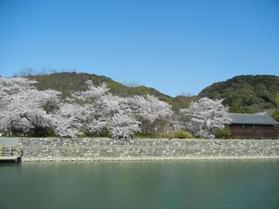 2-宇治川桜