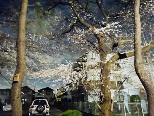小平桜-e,3-24 DSC09966
