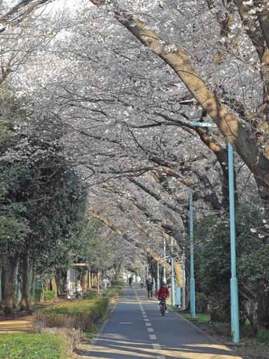 小平桜-g,3-25 DSC09989