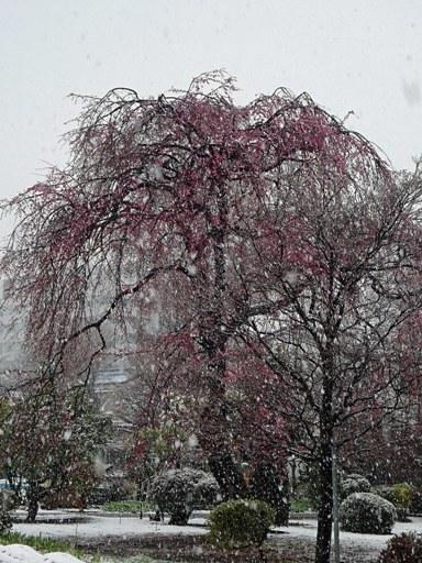 小平桜-a,3-21 DSC09834
