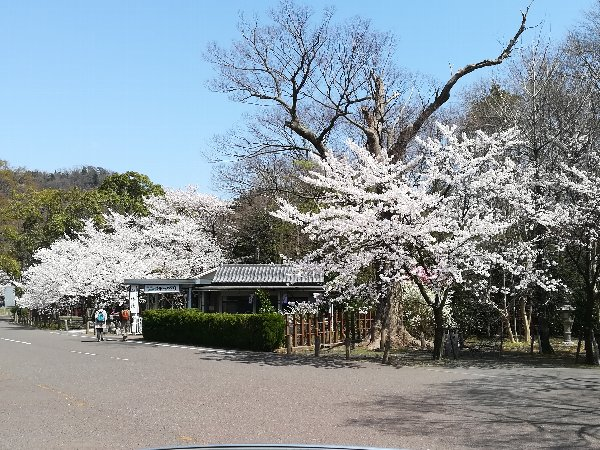 kehiginguu3-sakura-052.jpg