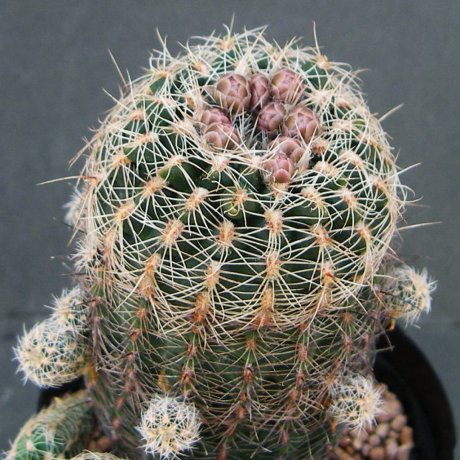 Sany0195--bruchii niveum--LF 090--Bercht seed 1998 (2010)