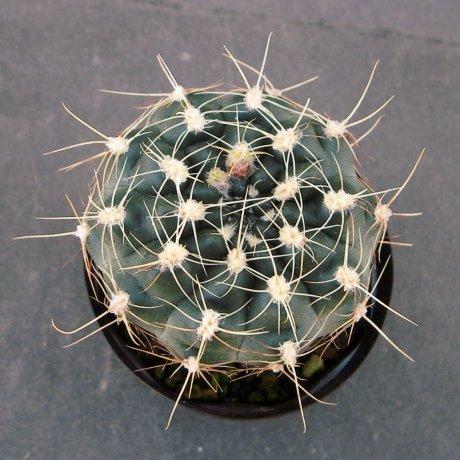 Sany0177--mergallii--MM 11200--Bercht seed