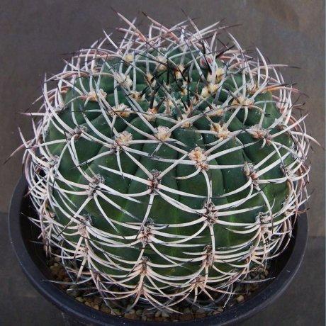 Sany0005--catamarcense f belense--P 73A--south Capillitas Catamarca--ex Eden