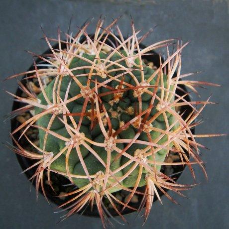 Sany0009--catamarcense f. belense--Tom 07-289--Belen Catamrca--ex Milena