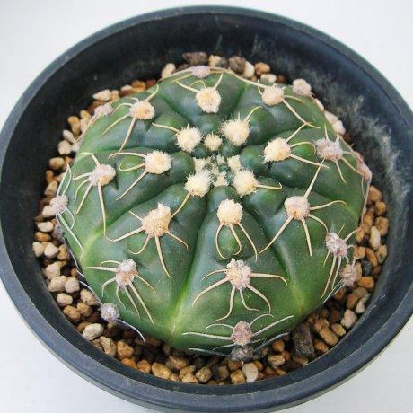 Sany0066--denudatum v angulatum--GF 309--piltz seed 4946--