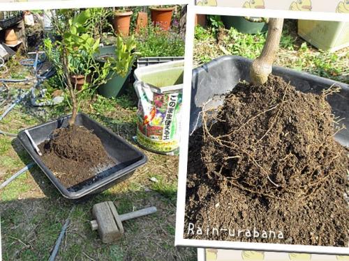 レモンの木の植え替え!