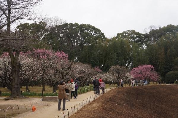 後楽園の梅林は、まだ五分咲きぐらい…赤・桃・白の競演