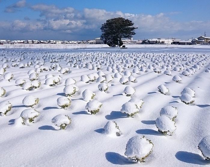 雪ブロッコリ