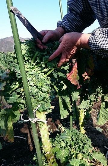 プチヴェ―ル収穫