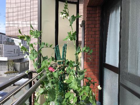 20170318 えんどう豆①